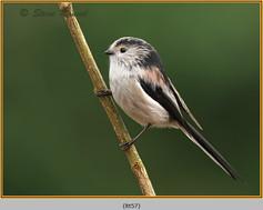 long-tailed-tit-57.jpg