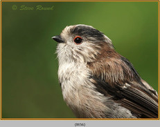 long-tailed-tit-56.jpg
