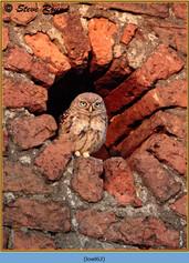 little-owl-62.jpg