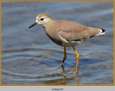 white-tailed-lapwing-19.jpg