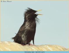spotless-starling-15.jpg