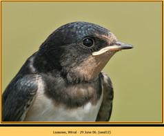 swallow-12.jpg