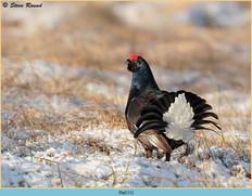 black-grouse-111.jpg