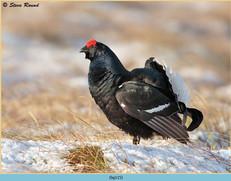 black-grouse-115.jpg