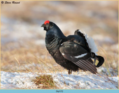black-grouse-115.jpg