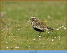 golden-plover-17.jpg