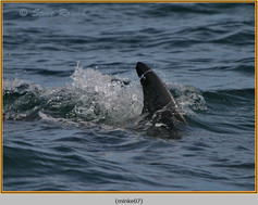 minke-whale-07.jpg