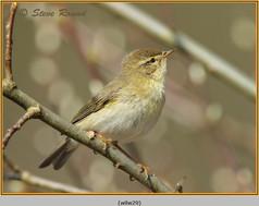 willow-warbler-29.jpg