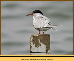 common-tern-05.jpg