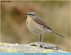 water-pipit-14.jpg