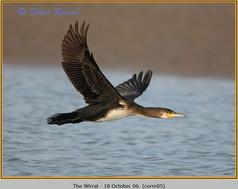 cormorant-05.jpg
