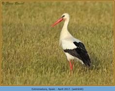 white-stork-44.jpg