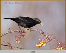 blackbird-50.jpg