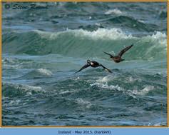 harlequin-duck-49.jpg