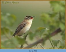 sedge-warbler-52.jpg