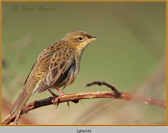 grasshopper-warbler-54.jpg
