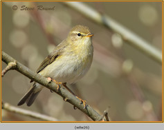 willow-warbler-26.jpg