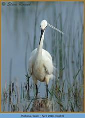 little-egret-84.jpg