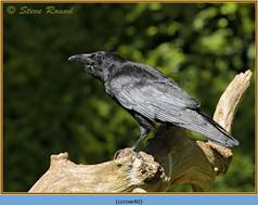 carrion-crow-40.jpg