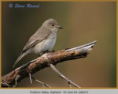 spotted-flycatcher-07.jpg