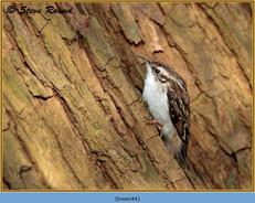 treecreeper-44.jpg