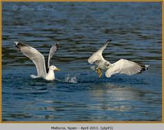 yellow-legged-gull-45.jpg