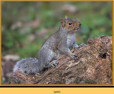 grey-squirrel-2.jpg