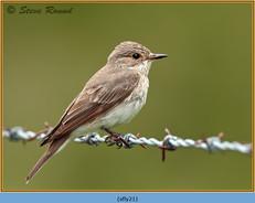 spotted-flycatcher-21.jpg