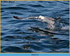 lesser-black-backed-gull-131.jpg