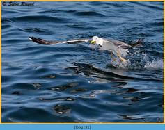 lesser-black-backed-gull-131.jpg