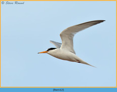 little-tern-12.jpg