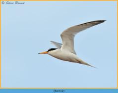 little-tern-12.jpg