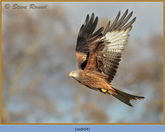 red-kite-54.jpg