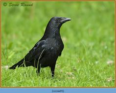 carrion-crow-45.jpg