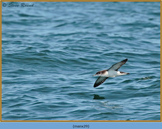 manx-shearwater-29.jpg