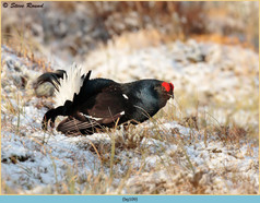 black-grouse-109.jpg