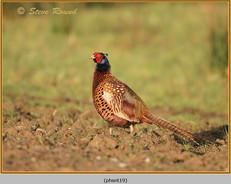 pheasant-19.jpg