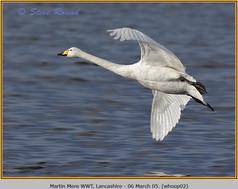 whooper-swan-02.jpg