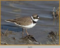 little-ringed-plover-25.jpg