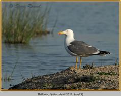 yellow-legged-gull-23.jpg