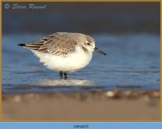 sanderling-63.jpg