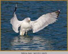 yellow-legged-gull-35.jpg
