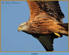 red-kite-46.jpg
