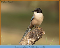 azure-winged-magpie-05.jpg