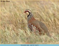red-legged-partridge-27.jpg