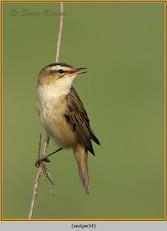 sedge-warbler-34.jpg