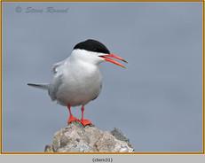 common-tern-31.jpg