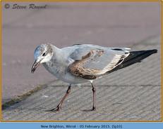 laughing-gull-10.jpg
