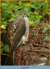 sparrowhawk-54.jpg