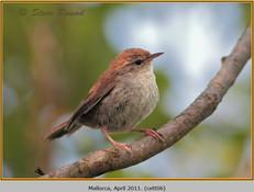 cettis-warbler-06.jpg
